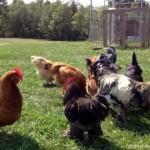 chicken-cop-MAIN
